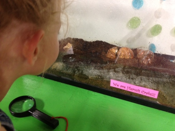 Libby hermit crab